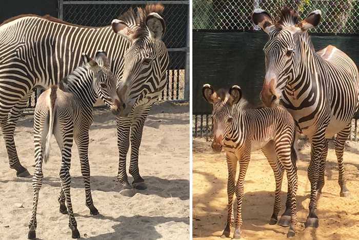 Grevy's Zebra Foals Join the Herd at Disney's Animal Kingdom