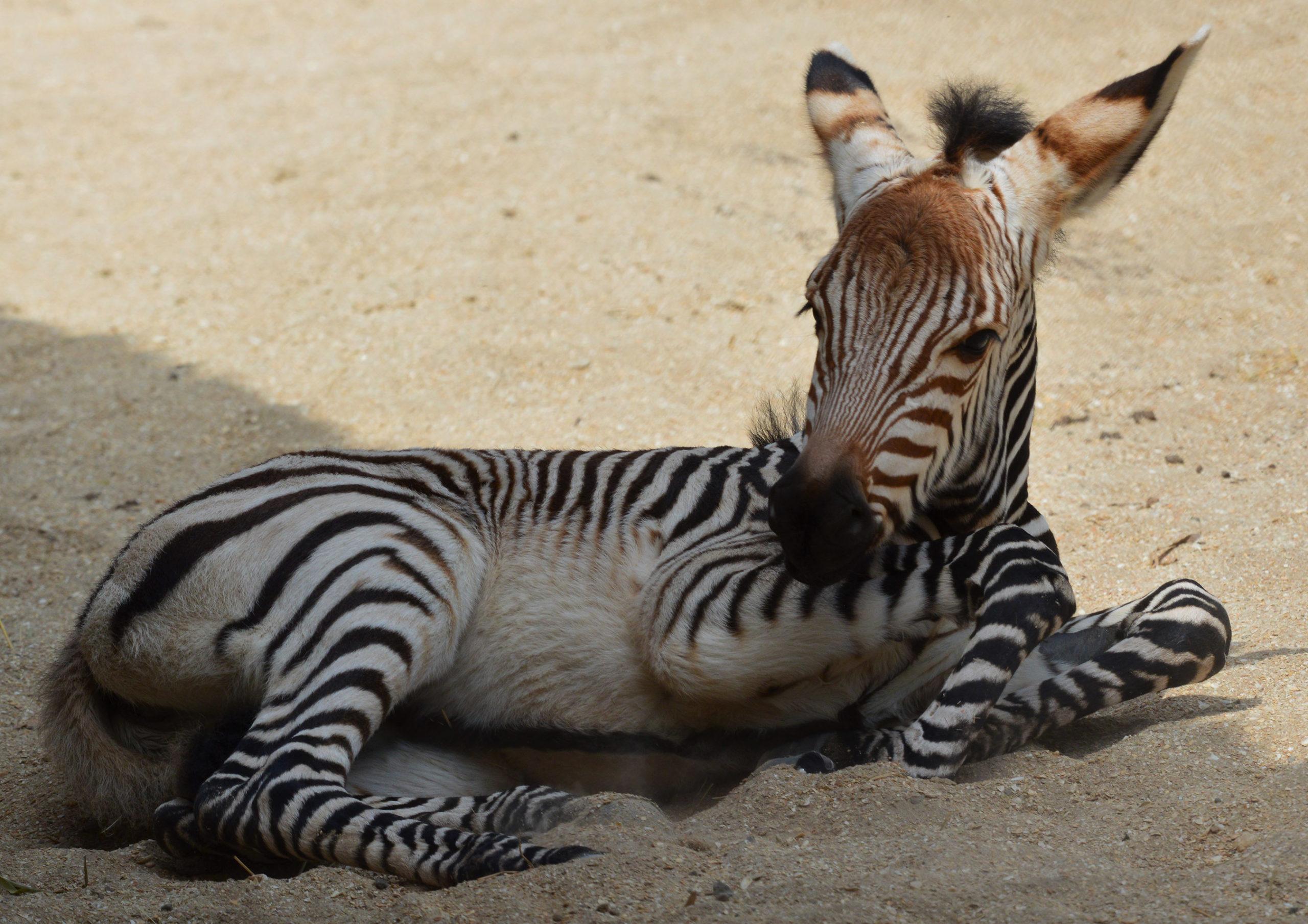 Porcupine and Zebra Foal born at Disney's Animal Kingdom