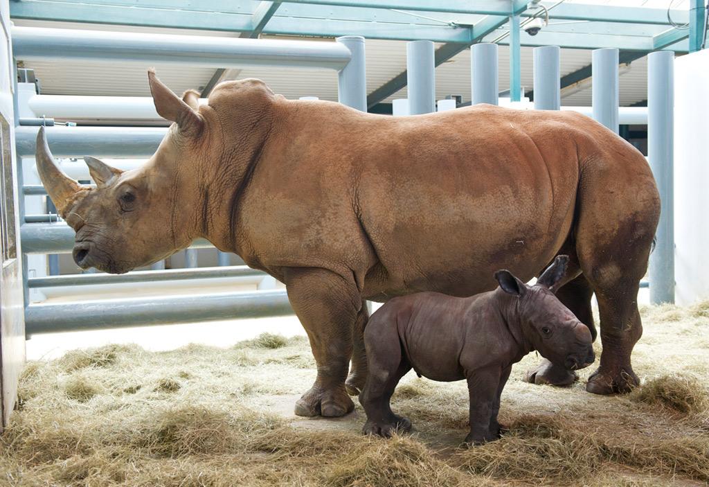 White Rhino birth at Disney's Animal Kingdom