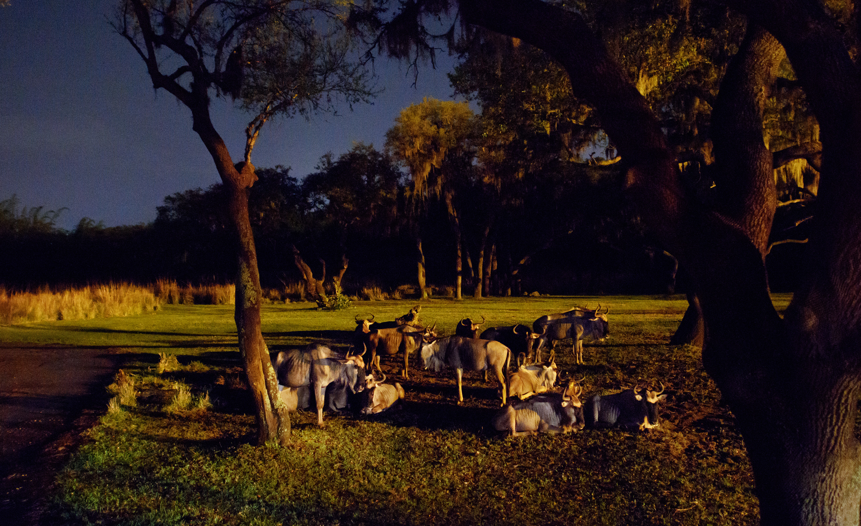 Kilimanjaro Safaris After Dark