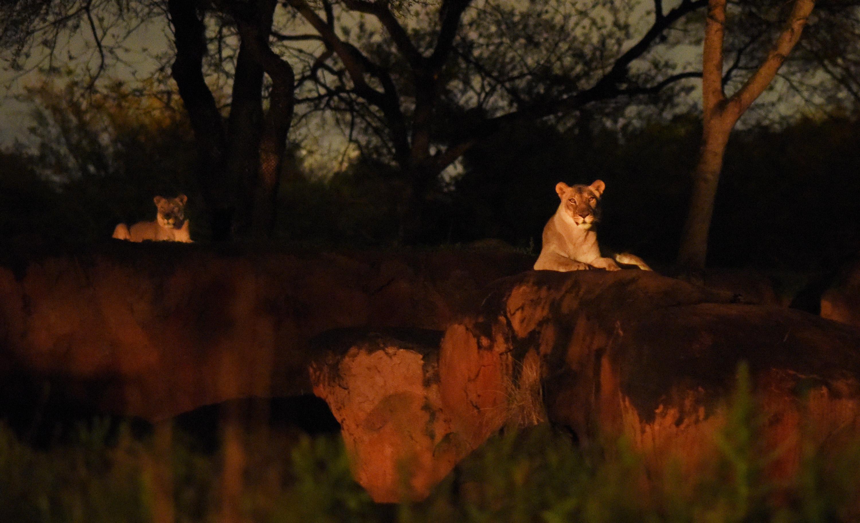 Disney World Kilimanjaro Safaris After Dark Wdwmagic Kilimanjaro Safaris