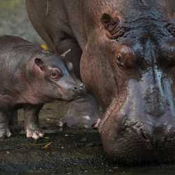 Hippo Birth at Disney's Animal Kingdom