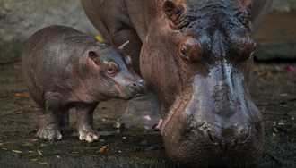 VIDEO - Meet Augustus, the baby Hippo born at Disney's Animal Kingdom