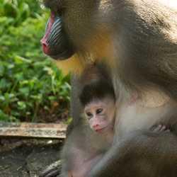 Baby Mandrill born at Disney's Animal Kingdom