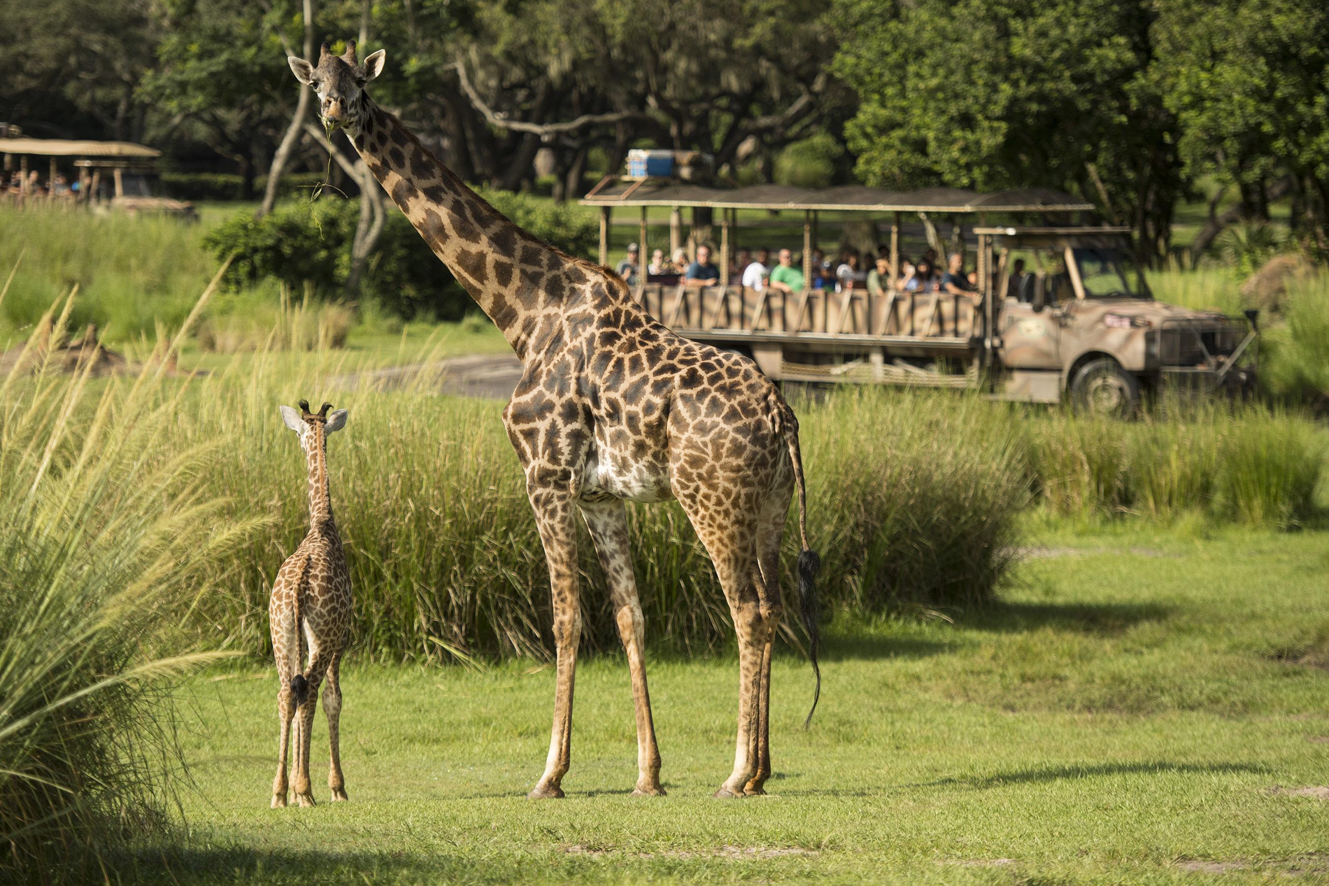 Aella the Masai giraffe calf