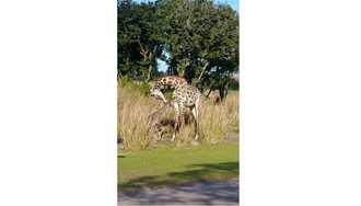 PHOTO - Masai giraffe calf born on the Kilimanjaro Safari savanna