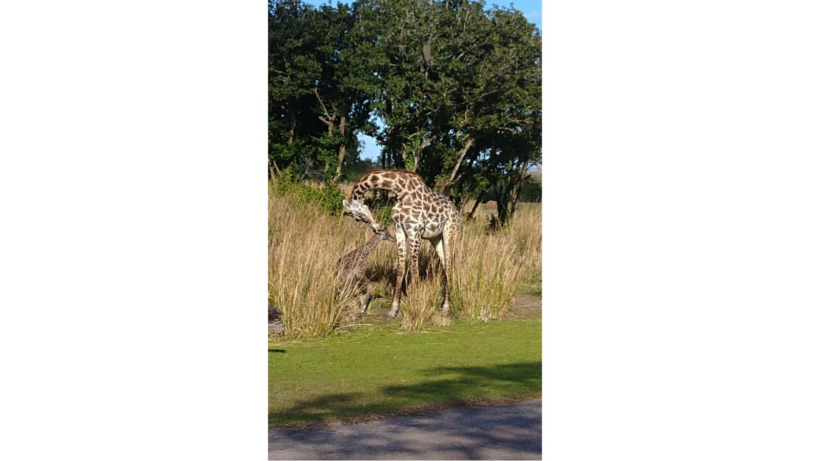 Masai giraffe calf born on the Kilimanjaro Savanna