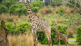 VIDEO - 2 month-old male Masai giraffe named Jabari joins Kilimanjaro Safaris