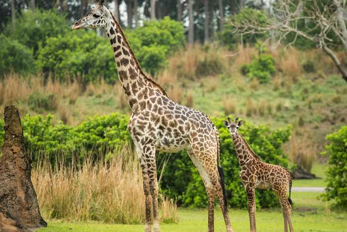 Jabari the Masai giraffe