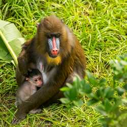 A baby mandrill born July 2020 at Disney's Animal Kingdom