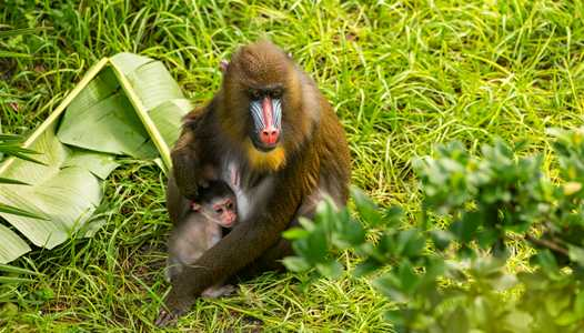 PHOTO - Baby mandrill born at Disney's Animal Kingdom