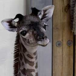 Masai giraffe born September 22 2020