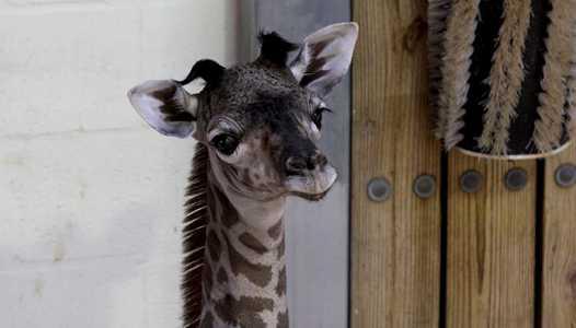 PHOTO - Masai giraffe born this week at Disney's Animal Kingdom