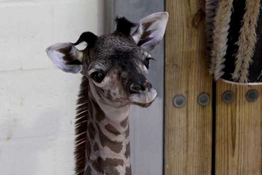 PHOTO - Masai giraffe born this week at Disney's Animal Kingdom