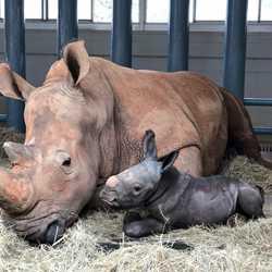 Baby Rhino Born at Disney's Animal Kingdom - October 25 2020