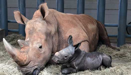 PHOTO - Endangered White Rhino born at Disney's Animal Kingdom