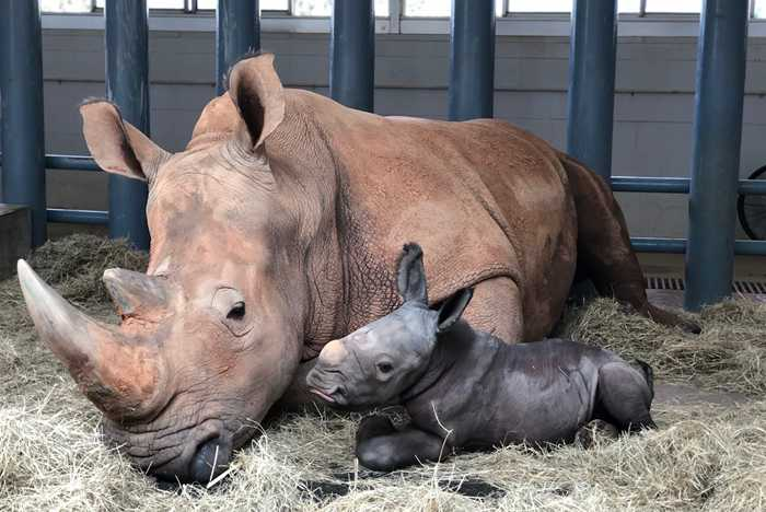 Baby Rhino Born at Disney's Animal Kingdom - October 25 2020