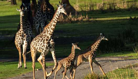 PHOTOS - Two Masai giraffe calves join the herd at Kilimanjaro Safaris