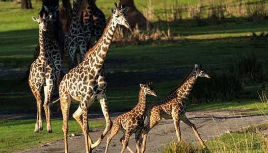 PHOTOS - Two Masai giraffe calves join the herd at Kilimanjaro Safaris