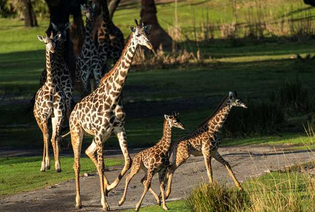 Giraffe Calves join the herd on Kilimanjaro Safaris - December 2020