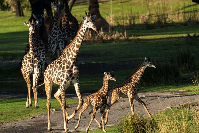 Giraffe Calves join the herd on Kilimanjaro Safaris - December 2020
