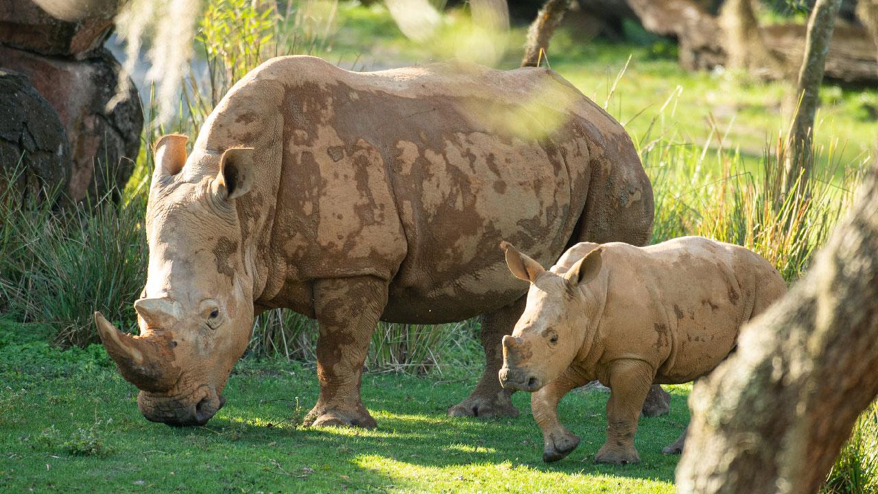 Ranger the Rhino Calf