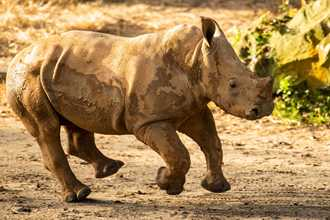 PHOTOS - Four month old rhino calf joins the herd at Kilimanjaro Safaris