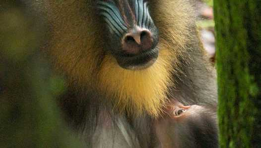 Disney's Animal Kingdom mandrill birth is another success for Disney's breeding of endangered species