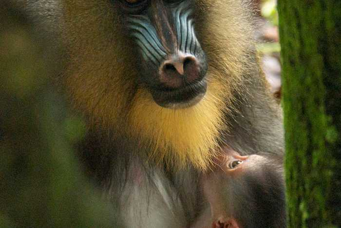 Baby Mandrill born at Disney's Animal Kingdom - April 2021