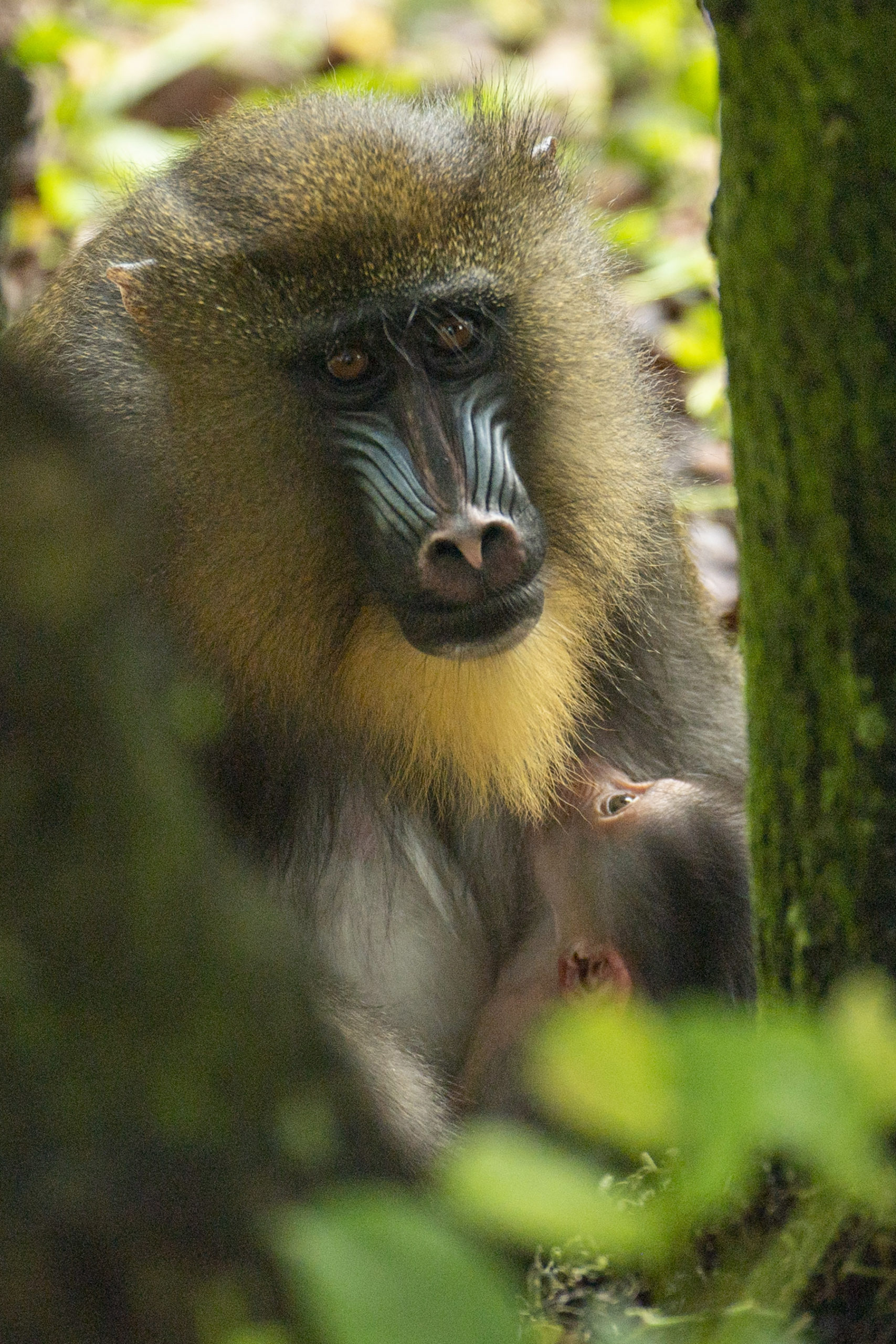 Baby Mandrill born at Disney's Animal Kingdom - April 2021
