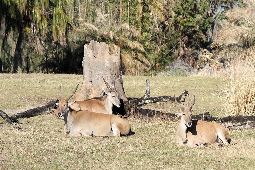 Kilimanjaro Safaris animals - Greater Kudu