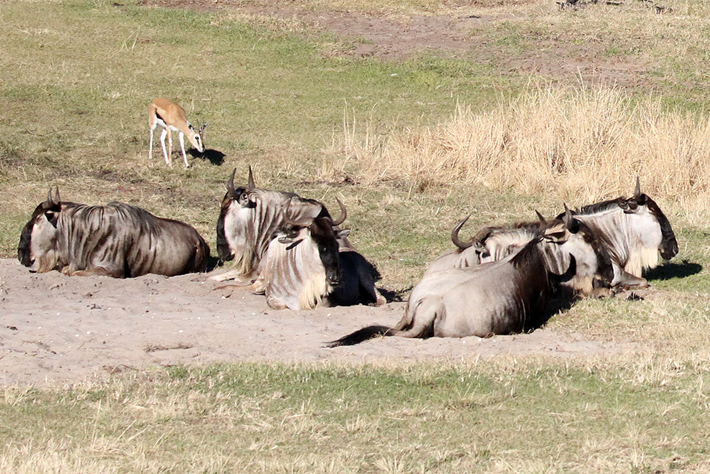 Kilimanjaro Safaris animals - White-bearded Wildebeest