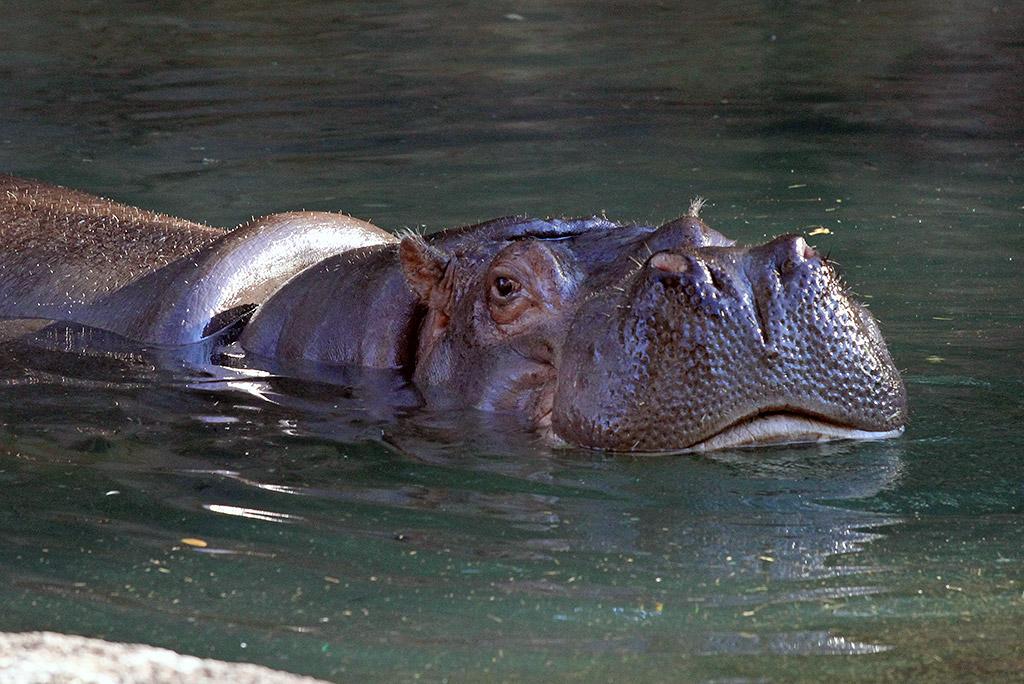 Kilimanjaro Safaris animals - Nile Hippo