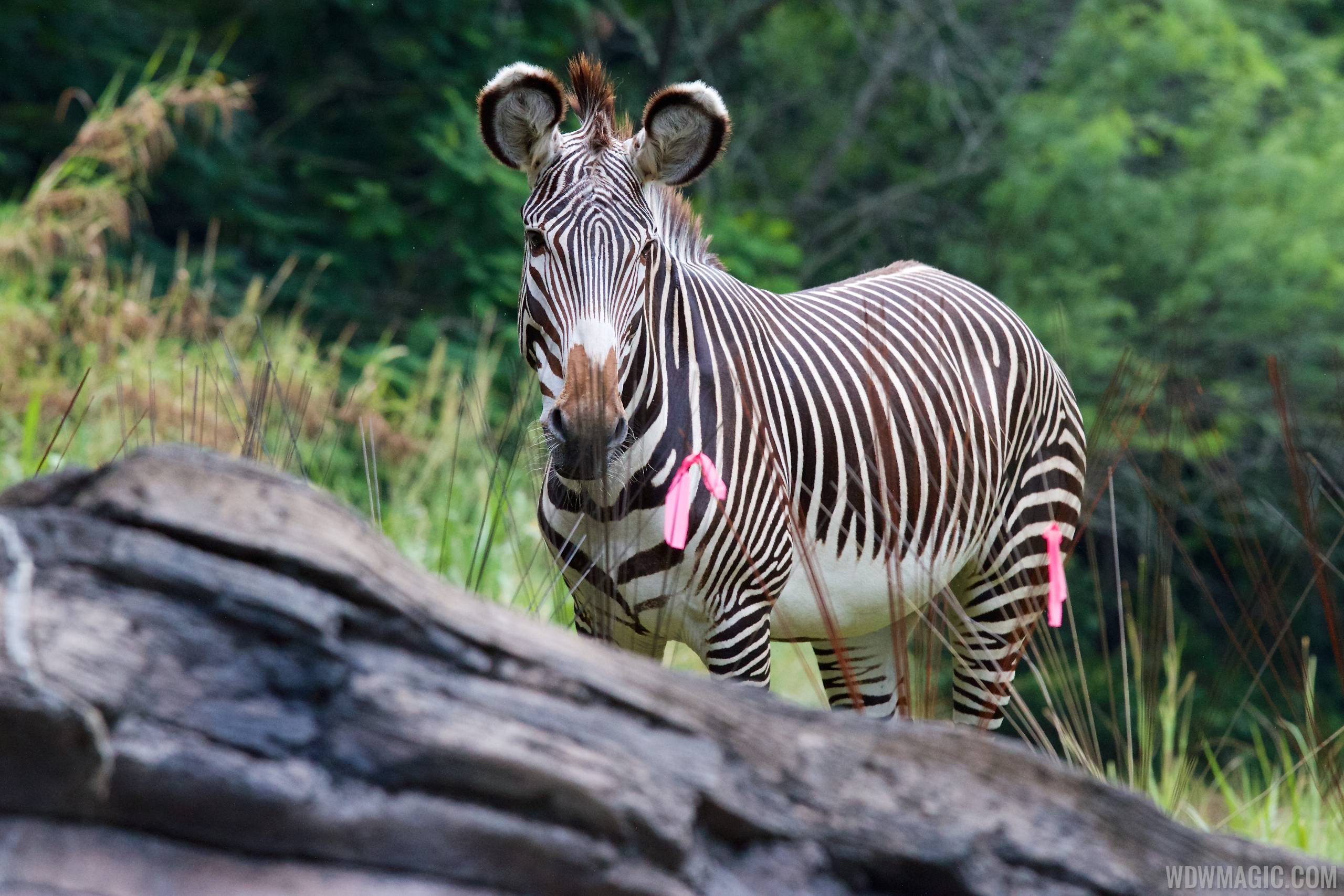 Grevy's zebra at Pangani Forest Exploration Trail